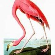 American Flamingo Poster