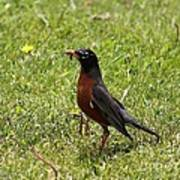 American Robin Gathering Worms Poster