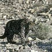 Arabian Leopard Panthera Pardus 1 Poster