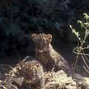 Arabian Leopard Panthera Pardus Poster