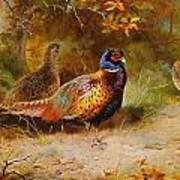 Autumn Covert Pheasants Poster