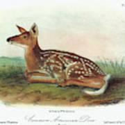 Audubon Deer Poster