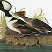 Audubon Merganser Poster