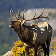 Autumn Bull Elk Bugling Poster