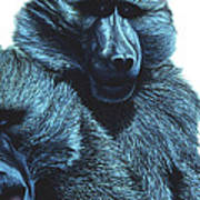 Baboons  Poster