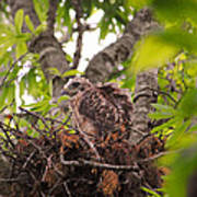 Baby Red Shouldered Hawk In Nest Poster