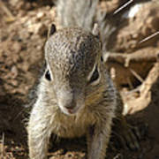 Baby Rock Squirrel Poster
