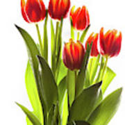 Backlit Tulip Flowers Against White Poster