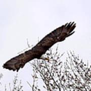 Bald Eagle Soaring Poster