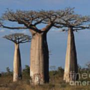 baobabs of Madagascar Poster