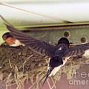 Barn Swallows Constructing Their Nest Poster by J McCombie