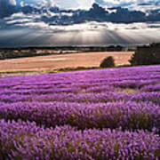 Beautiful Lavender Field Landscape With Dramatic Sky Poster