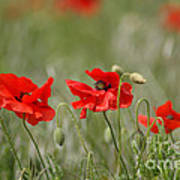 Beautiful Poppies 1 Poster