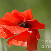 Beautiful Poppies 3 Poster