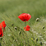 Beautiful Poppies 4 Poster