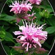 Bee Balm Named Panorama Pink Poster