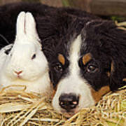 Bernese Mountain Puppy And Rabbit Poster