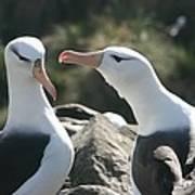 Black Browed Albatross Pair Poster