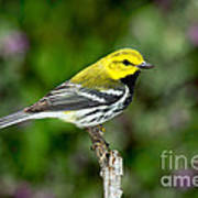 Black Throated Green Warbler Poster
