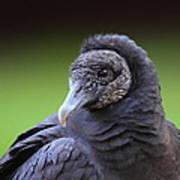 Black Vulture Portrait Poster