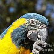 Blue Throat Macaw Poster
