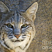 Bobcat Poster by William H. Mullins