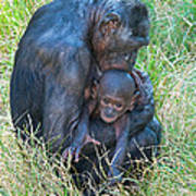 Bonobo Mother And Baby Poster