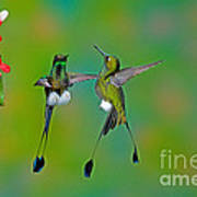 Booted Racket-tail Hummingbird Males Poster