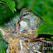 Broad-billed Hummingbird And Young Poster