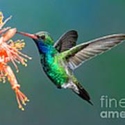 Broad-billed Hummingbird At Ocotillo Poster