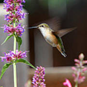 Broad-tailed Hummingbird Poster