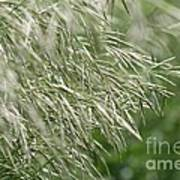 Brome Grass In The Hay Field Poster