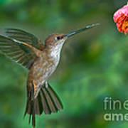 Bronzy Inca Hummingbird Poster