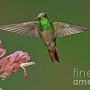 Buff-bellied Hummingbird Poster