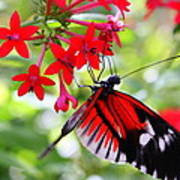 Butterfly On Red Bush Poster