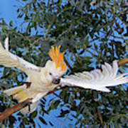 Cacatoes A Huppe Orange Cacatua Poster