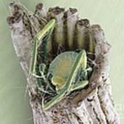 Caddisfly Larva, Sem Poster