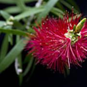 Callistemon Citrinus - Crimson Bottlebrush Hawaii Poster