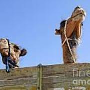 Camels At The Ashgabat Sunday Market In Turkmenistan Poster