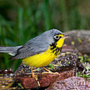 Canada Warbler Poster