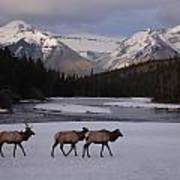 Elk Crossing, Banff National Park, Alberta Poster