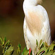 Cattle Egret Adult In Breeding Plumage Poster