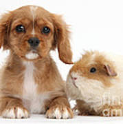 Cavalier King Charles Spaniel Pup Poster