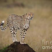 Cheetah On Termite Mound Poster