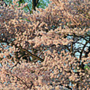 Cherry Blossoms In Pink And Brown Poster