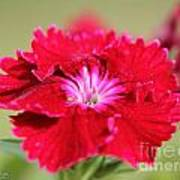 Cherry Dianthus From The Floral Lace Mix Poster
