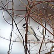 Chickadee On Woodvine Poster