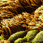 Cilia In Lung, Sem Poster