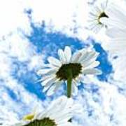 Close-up Shot Of White Daisy Flowers From Below Poster