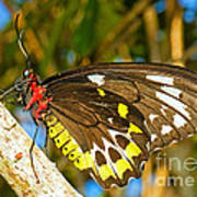 Common Birdwing Butterfly Poster